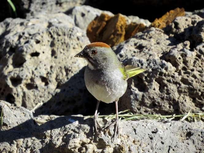 Green-tailed Towhee