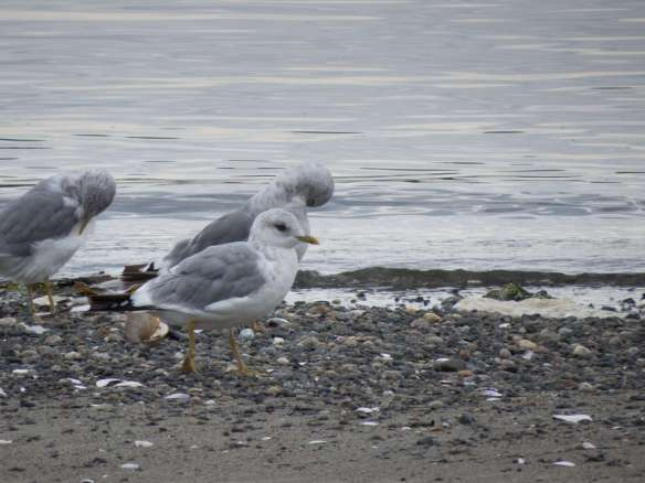"Mew Gull - dark eye, small round ""pigeon"" head with petit bill"