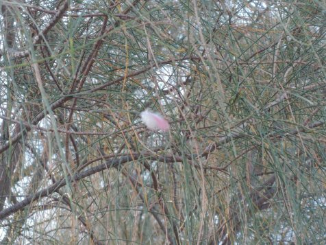 Pink galah feather suspended from sheoak needles