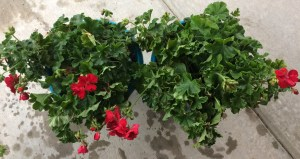 repotted-geraniums