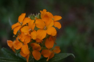 Macro photo of a small orange wildflower