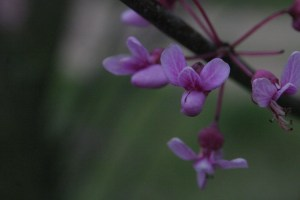 macro photo of redbud blossoms