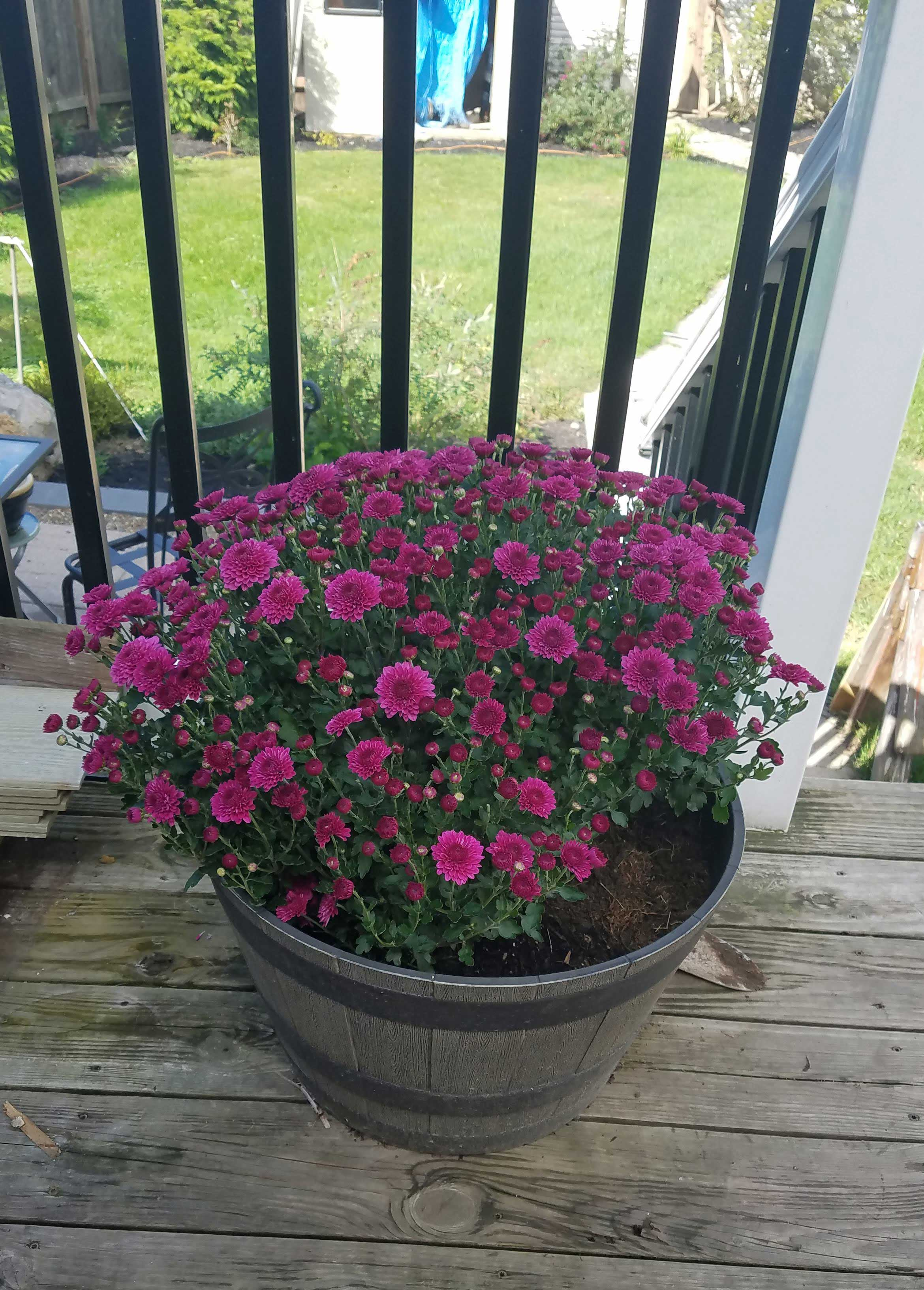 fall-decor-on-the-deck-planted-mums-1