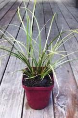 Carex flagellifera (Green)