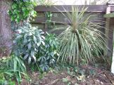 The shrub on the left looks like a Pseudopanax, but I haven't paid much attention to it yet. The cabbage tree on the right appears to be the variegated Cordyline australis 'Albertii', which is a nice colour for a shady spot, but since it will get as big as the common species it will probably have to go. I would transplant it, but well, it's actually a resprouted stump. Are you surprised?