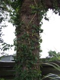 While a lot of ivy has been removed, there's still a lot hanging around.