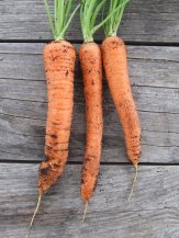 We've had some good carrots but there are only a few little ones left in the garden now.