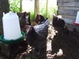 After a few minutes the older hens are more interested in eating and drinking.
