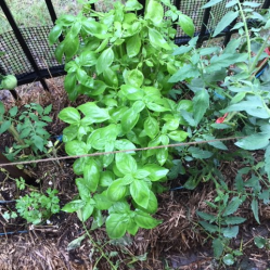 Basil growing in hay bale alongside the tomatoes & parsley. This is one of 3 basil plants in the hay bale which have been cut down several times this summer!