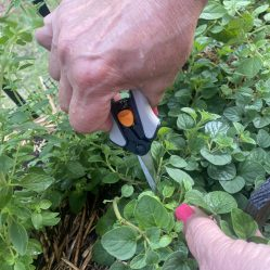 Cutting the fresh Greek oregano