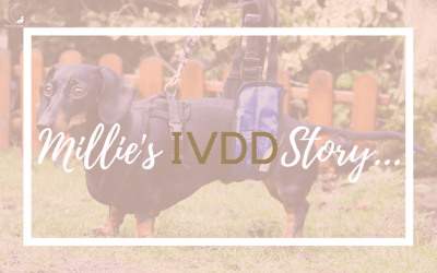 Diagnosed with IVDD: Millie's Story & Battle