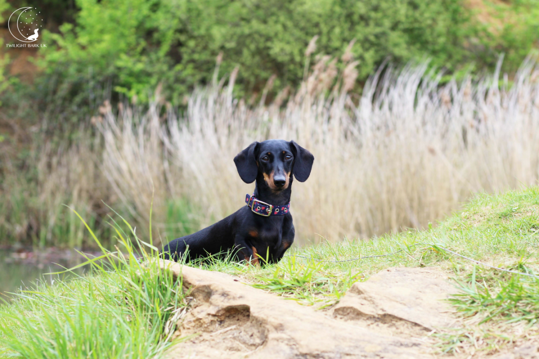 Dachshund in Nature Reserve