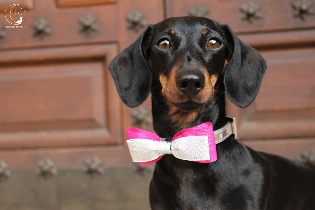 Millie the dachshund from dog blog Twilight Bark UK wears the Pink & Silver bow tie from Paws with Opulence