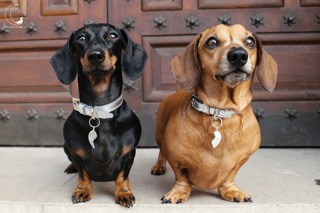 Ted & Millie the dachshunds from dog blog Twilight Bark UK wearing silver collar & broken heart dog tags from Paws with Opulence