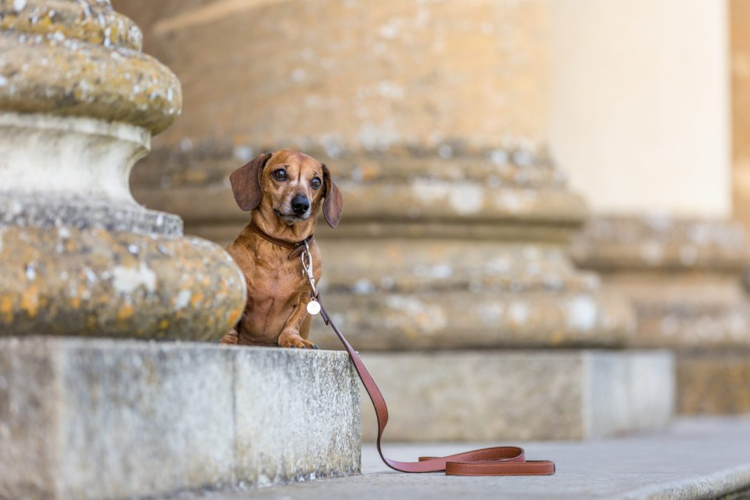 Click to discover why the National Trust dog walks at Stowe make an incredible day out with your dog. Picture shows Ted the dachshund from Twilight Bark UK at the Ancient Temple of Virtue.