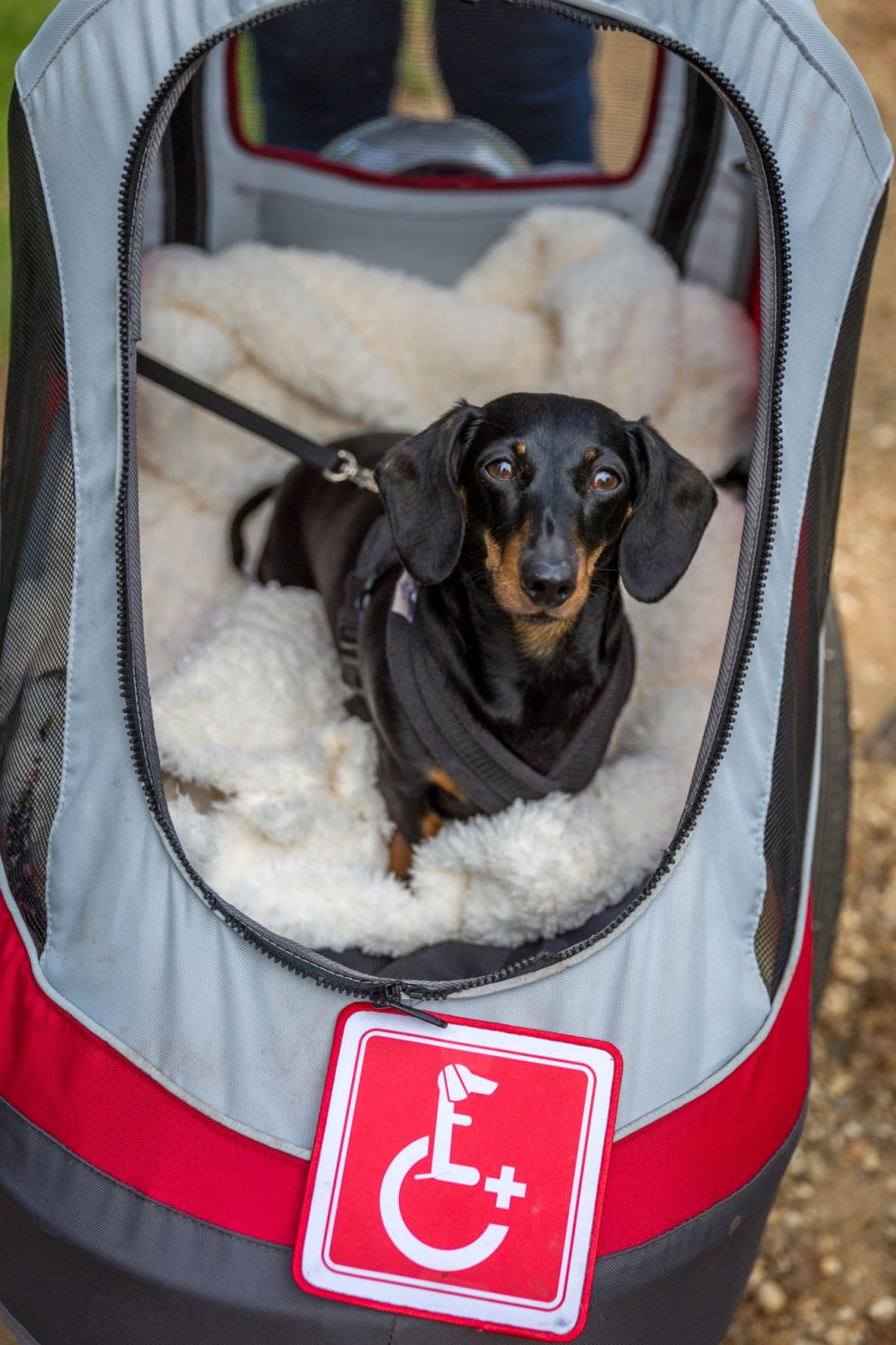 Click to discover why the National Trust dog walks at Stowe make an incredible day out with your dog. Picture shows Millie the dachshund from Twilight Bark UK in her pushchair