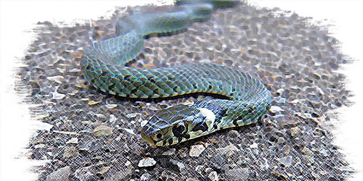 The Grass Snake of the House