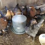 Get your yard ready for chickens!