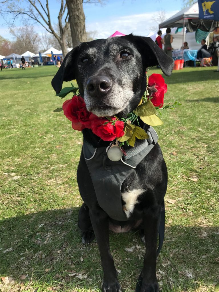 A May Day doggo swathed in roses