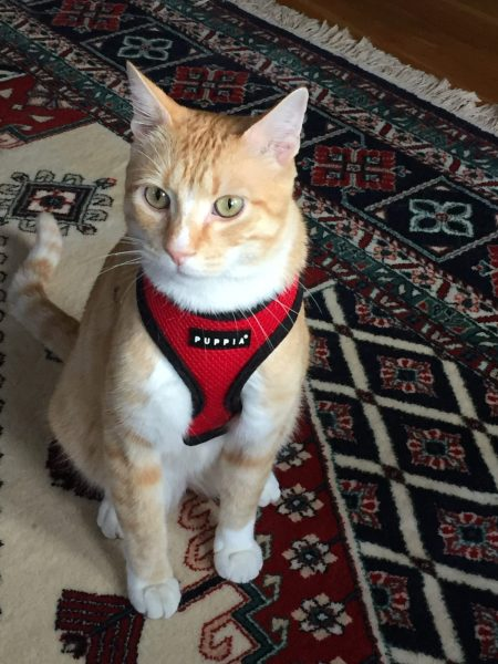 Max the cat in his harness