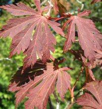 Acer japonicum 'Aconitifolium' (Fern Leafed Full Moon Maple)