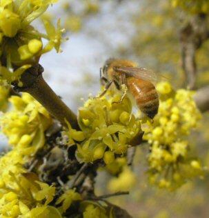 """Cornus mas """"Redstone"""" flowering"""