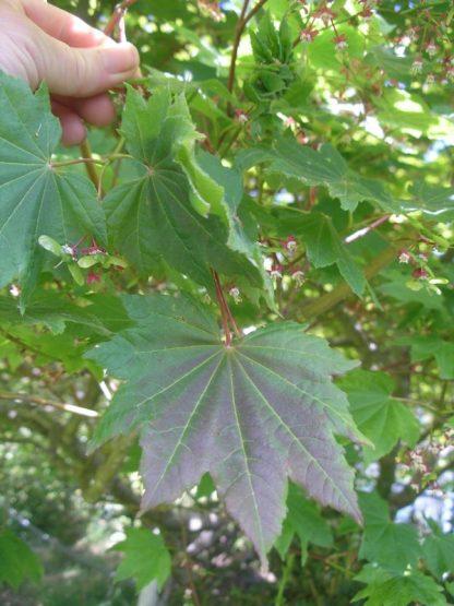 Acer circinatum leaf and flower