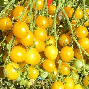 tomato ildi