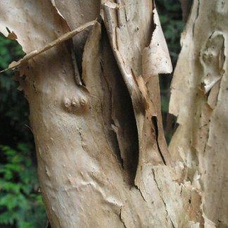 Dipelta bark