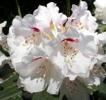 rhododendron morii