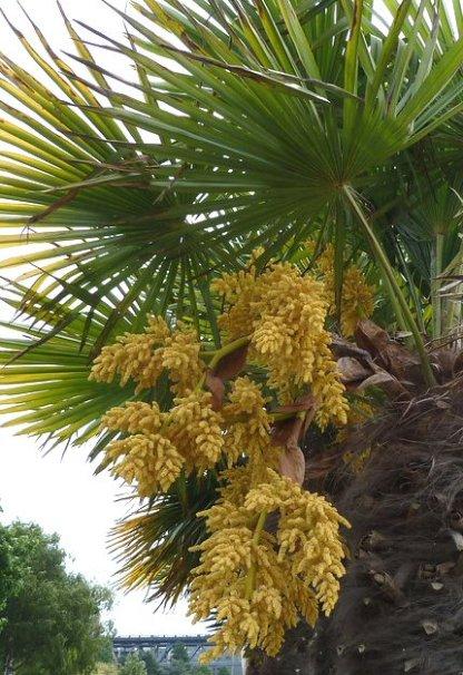 Trachycarpus-in-bloom