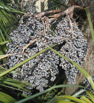 Trachycarpus fruits.