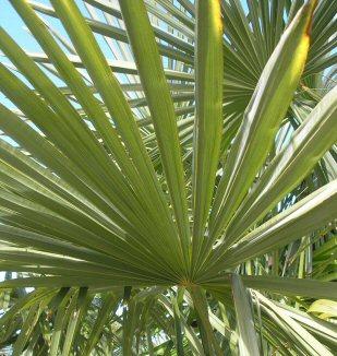 Trachycarpus leaf frond