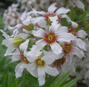 Xanthoceras sorbifolium flowers