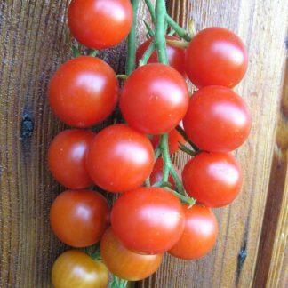 Peacevine tomato