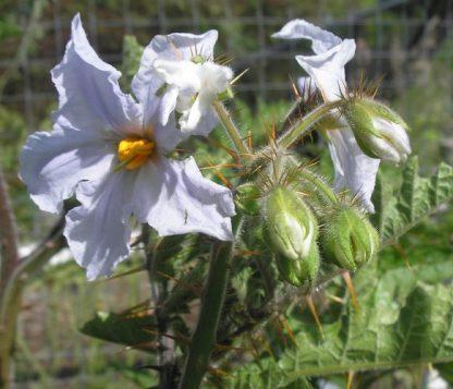 Litchi tomato flowering