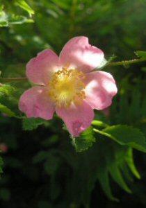 Rosa gymnocapra