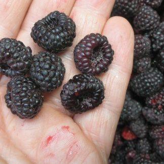 Rubus leucodermis fruit