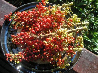Oplopanax horridus berries