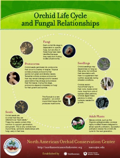 Orchid-fungal life cycle