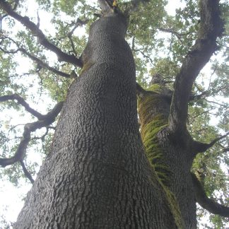Quercus garryana tree