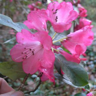 Rhododendron bainbridgeanum