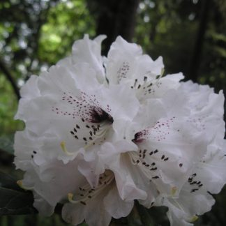 Rhododendron rex