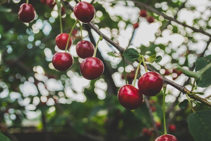 The bough of cherries some officious fool