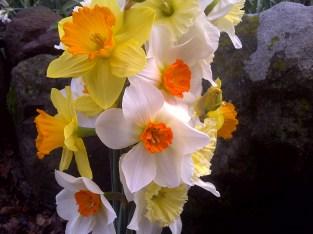 Daffodils in Feb