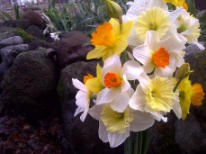 Daffodils in the morning
