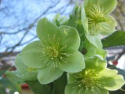 Hellebores blooms