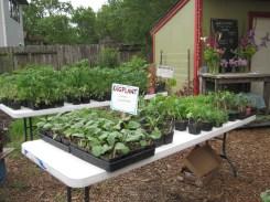 Plant sale Tomatoes and Eggplant
