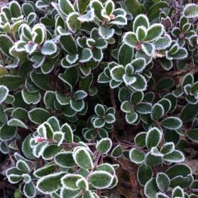Frosty lined manzanita
