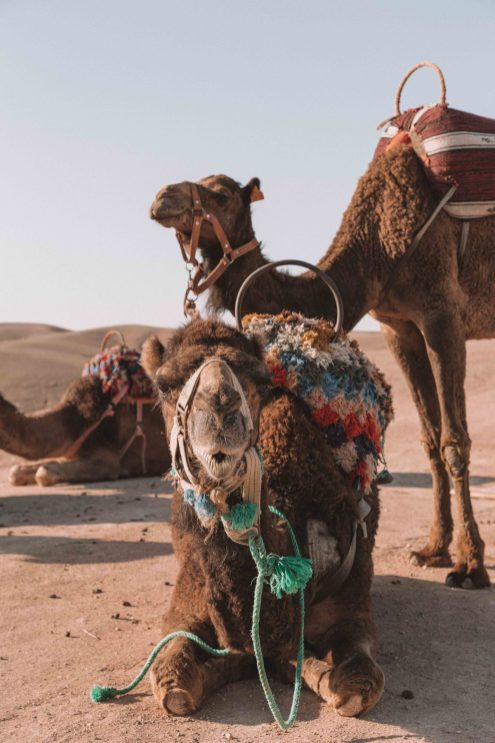 Camel riding, Morocco